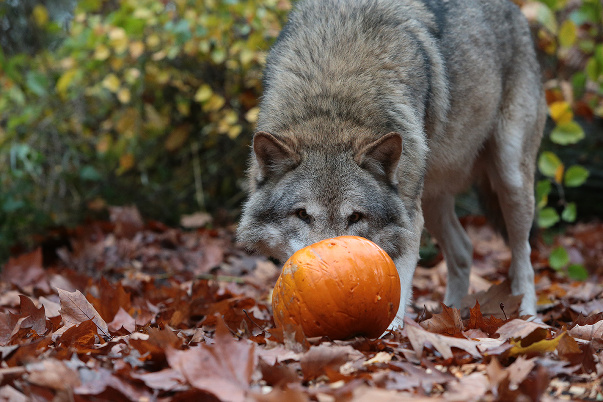 kürbis wolf